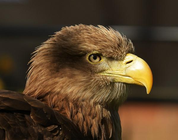 Eagle portrait by nealie