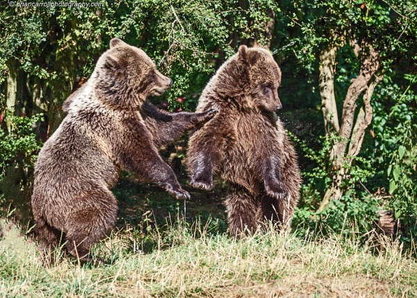 Brown Bears in action by brian17302