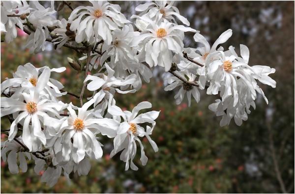 Magnolia Stellata by capto