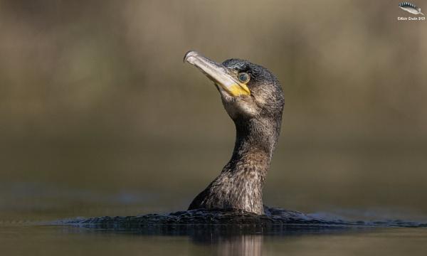 Cormorant by mufftrix