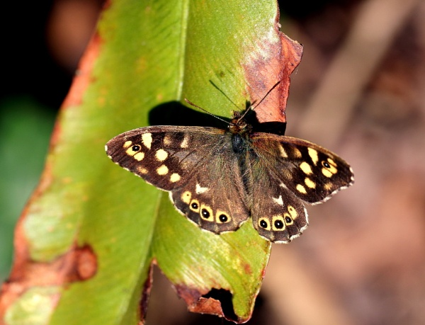Speckled Wood Butterfly by PhotomanBryan