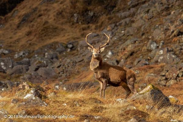 Red deer - Scotland by drbird