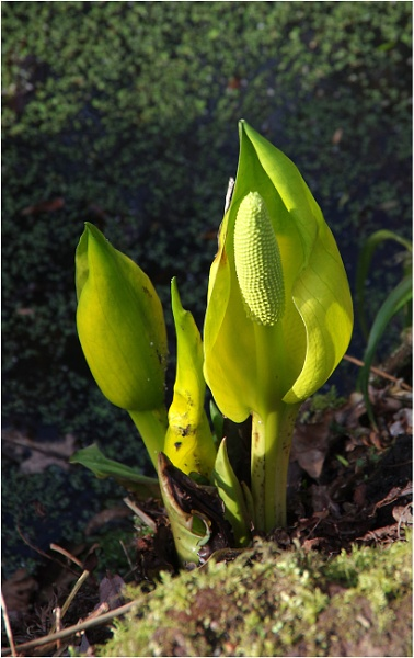 Skunk Cabbage by johnriley1uk