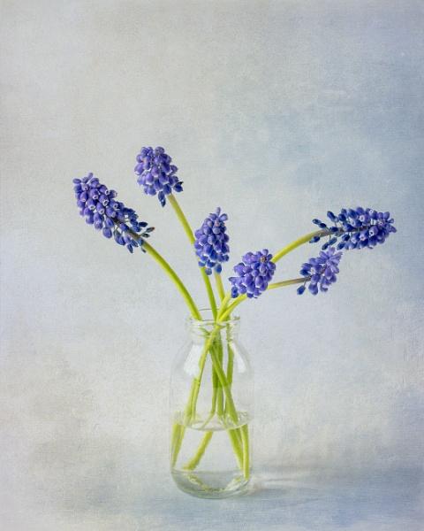 Grape Hyacinths by flowerpower59