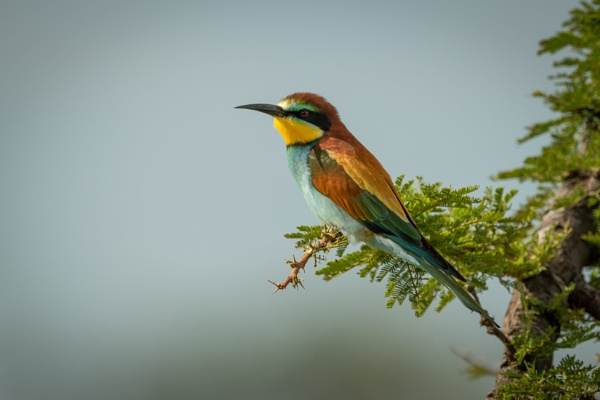 European bee-eater perched on branch in profile by NickDale