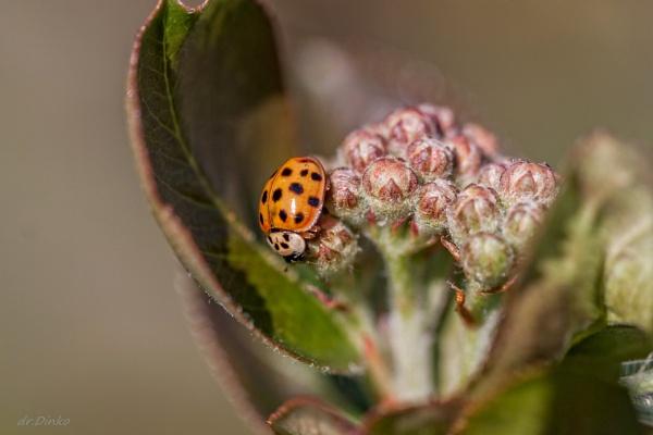 Ladybug by drDinko