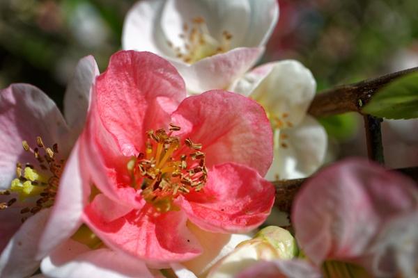 cheanomaleas flowering quince by retroman