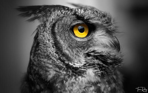 Arthur the Owl by tomriley