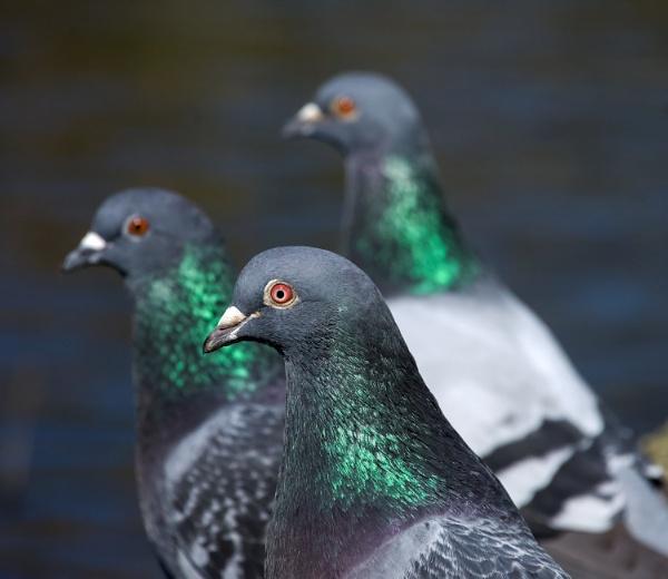 Three pigeons by Madoldie