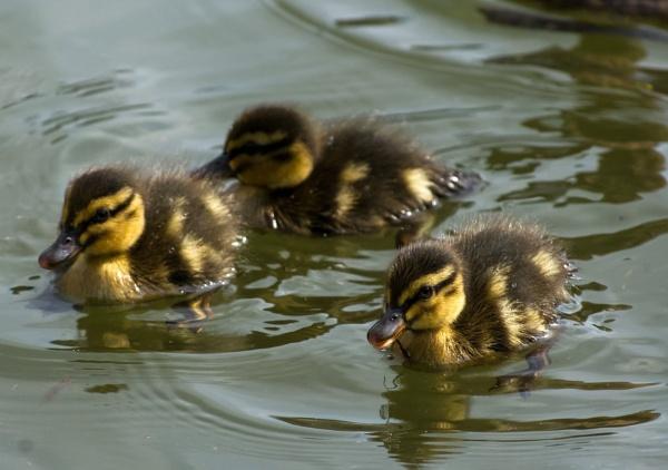 Three Ducklings by Madoldie