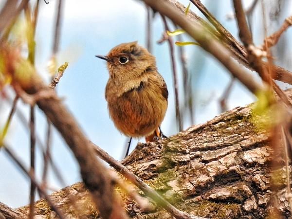 Small Himalayan bird by gautamc
