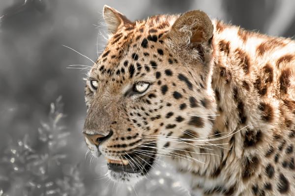 Amur leopard by BiffoClick