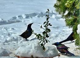 *** Brewer's  Blackbirds ***