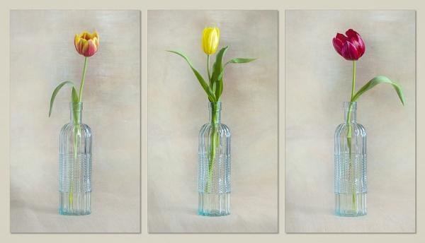 Tulip Trio by Leedslass1