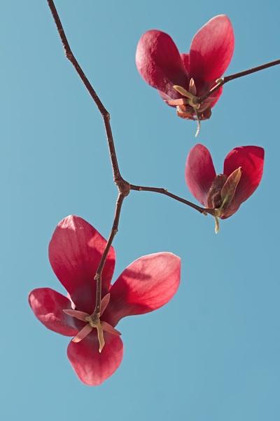 Magnolia 2019 by LaoCe