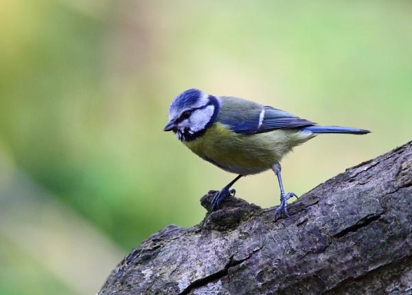 Blue Tit by Philipwatson