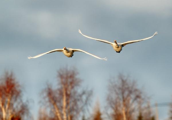 Whooper swans in Lake Vanjärvi by hannukon