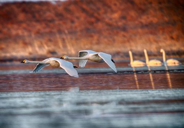 Whooper swans in Vihti by hannukon