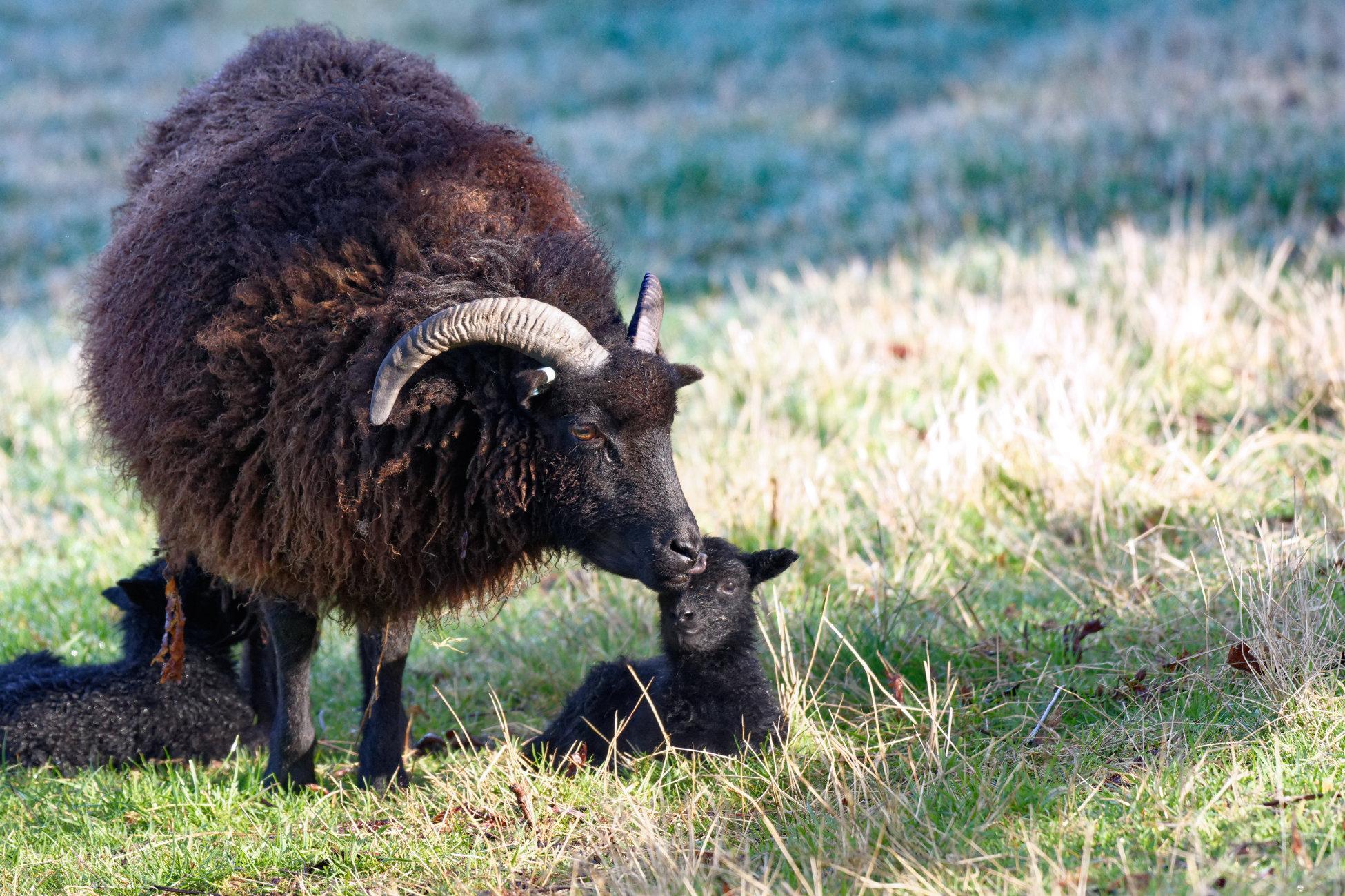 New born Hebridean lamb's