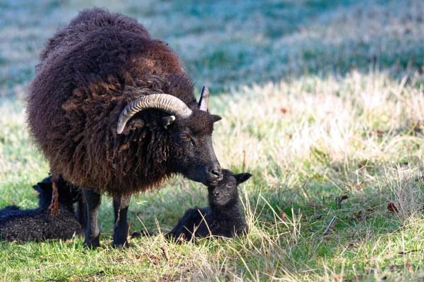 New born Hebridean lamb\'s by simmo73