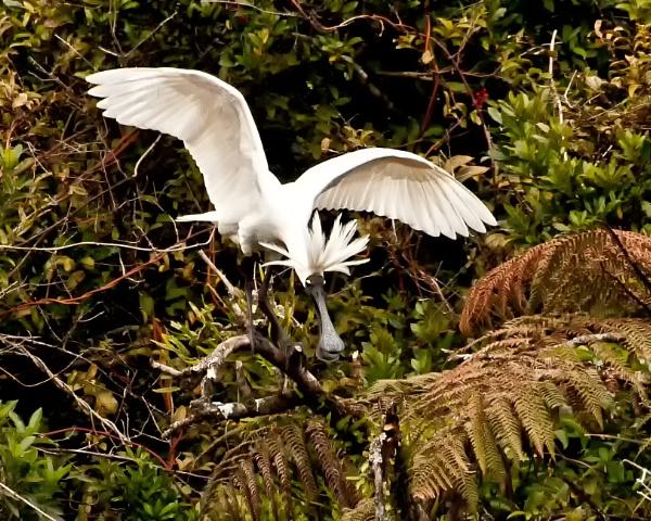 Spoonbill - Okarito NZ (3) by barryyoungnz