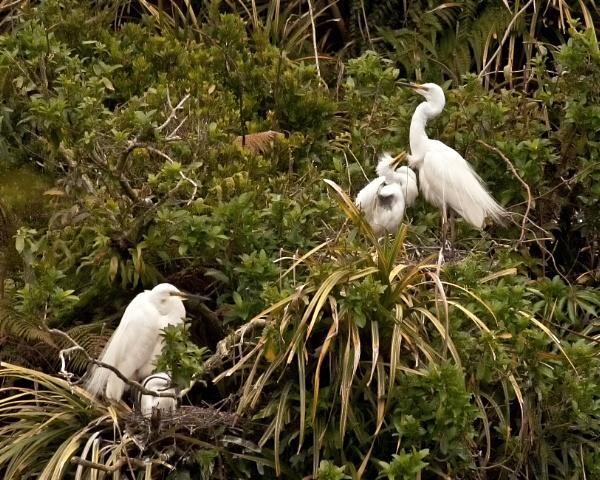 White Heron - Okarito NZ (3) by barryyoungnz