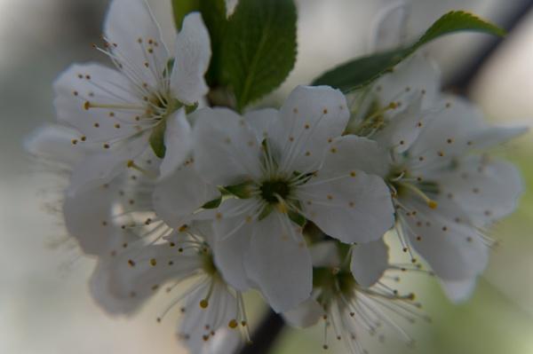 Blossom by PhotoLinda