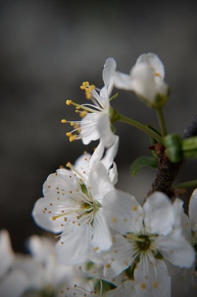 Blossom 2 by PhotoLinda
