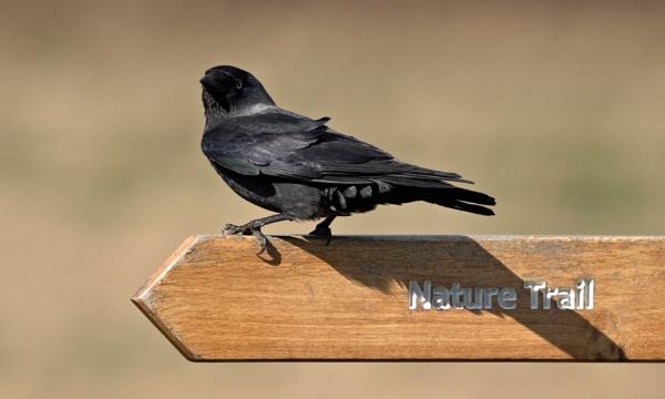 Jackdaw (Corvus monedula) by rawshooter