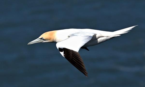 Gannet in flight by rawshooter