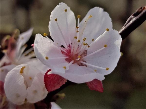 Apricot blossom by rosej
