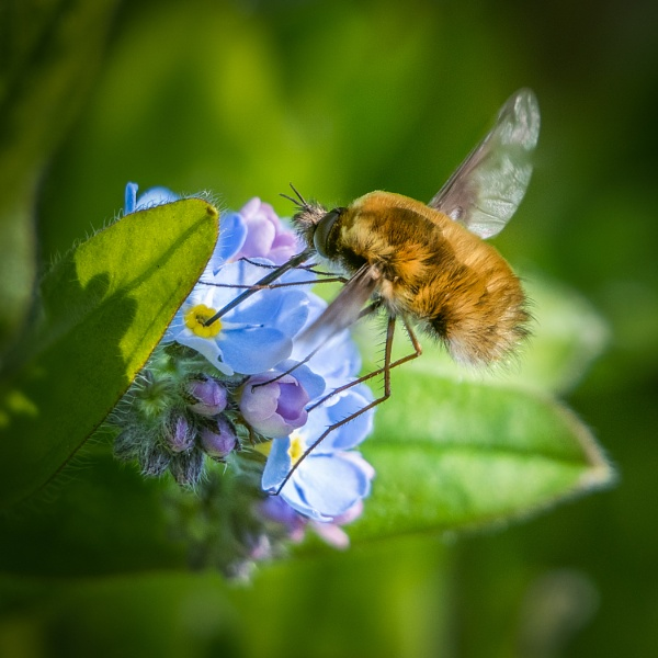 Feeding Bee fly by barrywebb