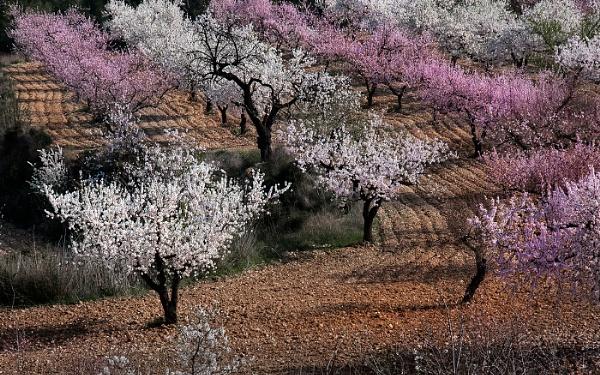 Almond Blossom Time by Zydeco_Joe