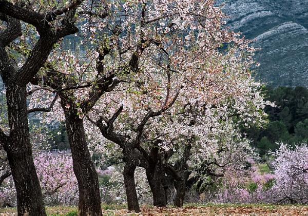 Almond Trees Spain by Zydeco_Joe