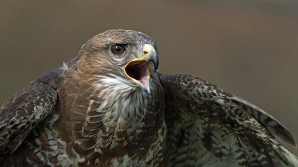 Noisy buzzard by oldgreyheron