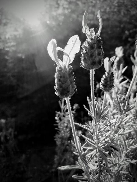 Lavender by markymook
