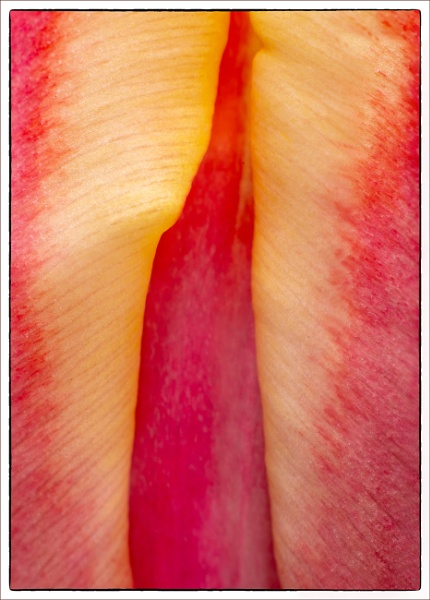 Tulip by tonyheps