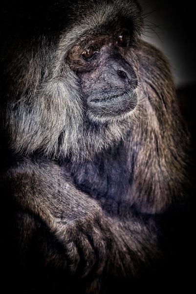 Grey Gibbon by gerryg