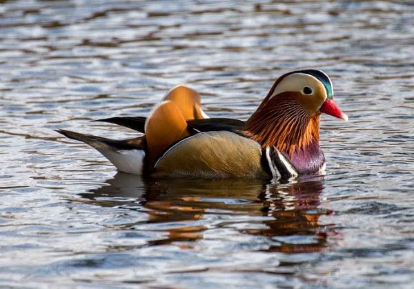Mandarin Duck by Swhitfield