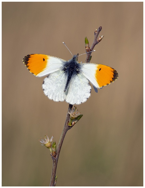 Orange Tip by NigelKiteley