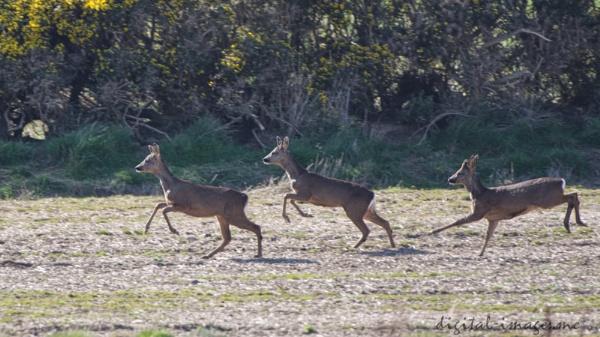 Roe Deer by Alan_Baseley