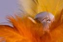 Esmerelda Duck in her best feather boa by saltireblue