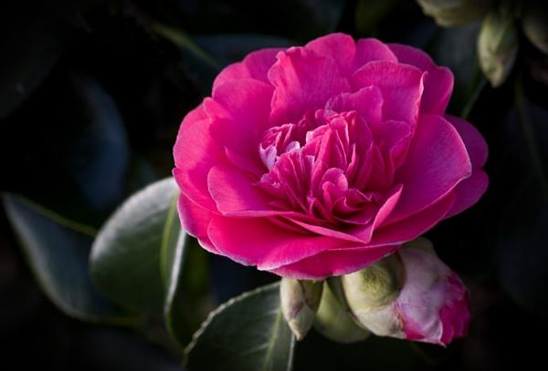 Camellia by CaroleS