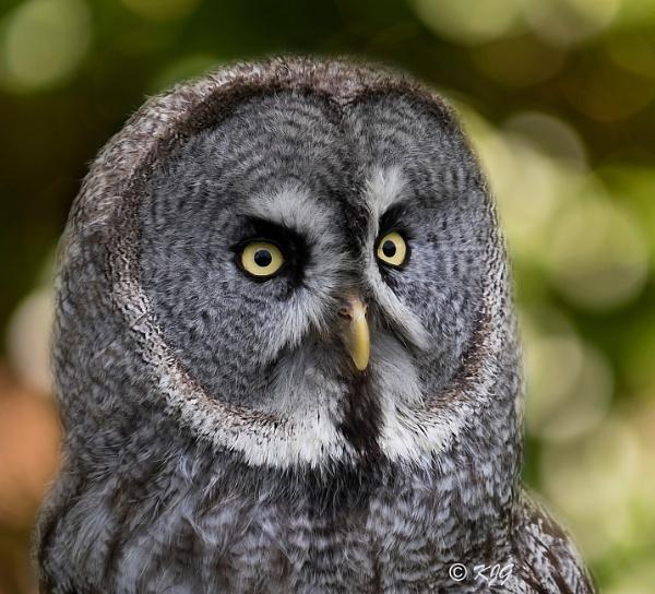 Great Grey Owl by kaz1