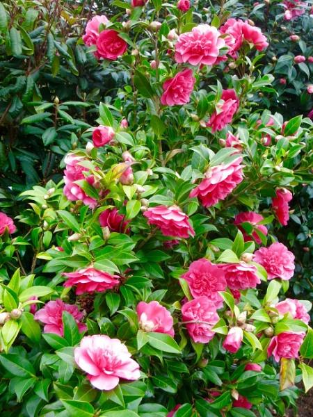 Camellia by derekp