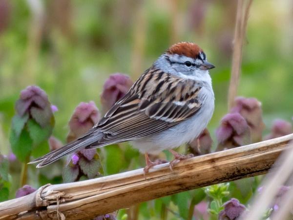 Chipping sparrow. by JeffGresko