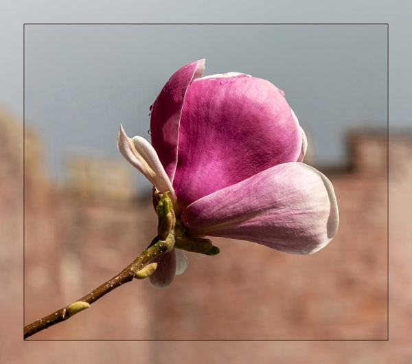 Magnolias at Powis Castle by DicksPics