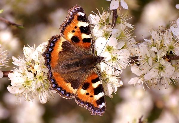 Spring Tortoiseshell Butterfly by georgiepoolie