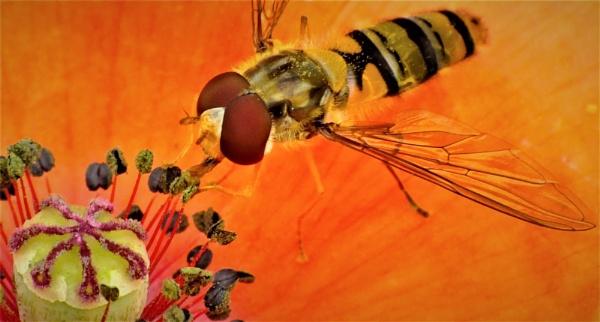 I Just Love Poppy Nectar. by macromal