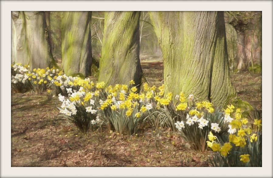 Daffodil Walk